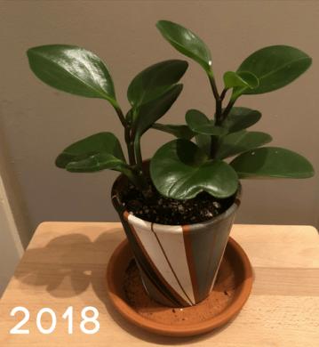 Peperomia2018