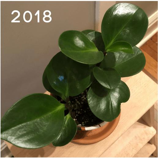 Peperomia2018v2